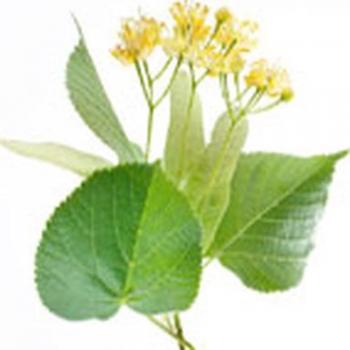 Tilia (lime) wood